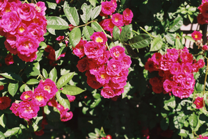 Eastman House - Roses by Ammoniite