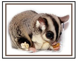Sugar Glider Nummies by imthinkingoutloud