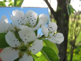 Pear Blossoms. by RzrBlade16