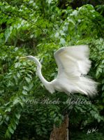 Great Egret Flight by SteelCowboy
