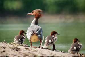Goosander by Dunadan-from-Bag-End