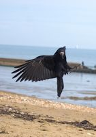 rook flying stk 7 by LubelleCreativeSpark