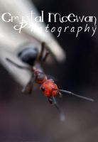 Poser Ant by Crystalsm