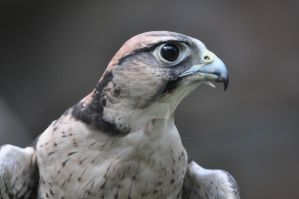 Lanner Falcon 2 by Guard-of-the-Citadel