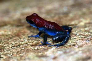 New Poison Frog Morph by MonarchzMan