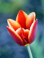 Red and Yellow Tulip by 8TwilightAngel8