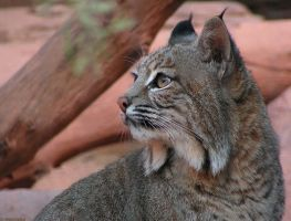 Bobcat by Henrieke