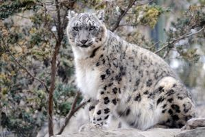Overseeing Snow Leopard by 8TwilightAngel8