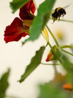 Bumble bee on a flower by Artculpit