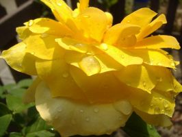 Wet Yellow Rose by richardxthripp