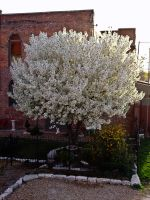 White Crabapple I by Baq-Stock