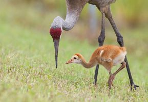 Sandhill Cranes by FForns
