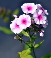 phlox flowers by SvitakovaEva
