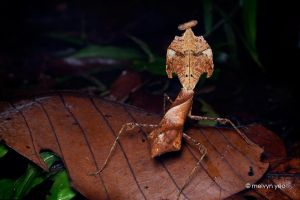 Dead Leaf Mantis by melvynyeo