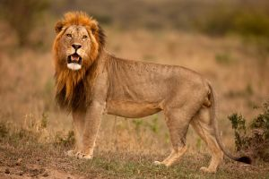 African Lion 24 by catman-suha