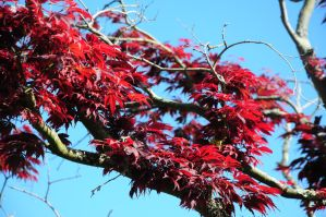 Japanese Maple by Valdkynd