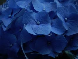 Hydrangea Blue by Pentacle5
