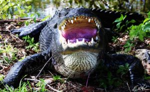 Hungry Croc by wolmers