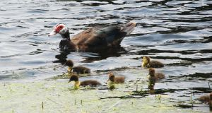 Duck Family II by WolfDagger369