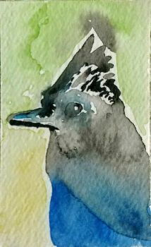 Steller's Jay Watercolor ACEO by Erinwolf1997