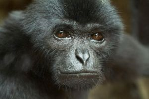 Siamang Gibbon by bleu3t