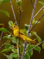 Yellow Warbler III by natureguy