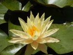 Yellow Water Lily by Raineve