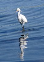 egret lunch by terrybare
