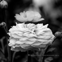 Ranunculus Black White by SharonLeggDigitalArt