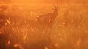 Red Hartebeest - Dreams of Gold by LivingWild