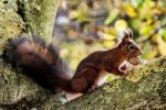 a red squirrel by BramvdZPhotography