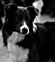 Bordercollie by NinjaxWarrior