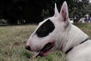 Daisy the Miniature English Bull Terrier by SamanthaTravers