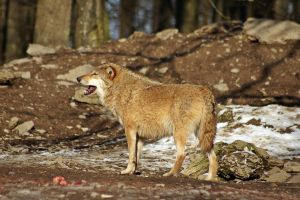 Wolf5 by Prinzess-Stock