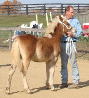 Haflinger Foal 2 by shi-stock