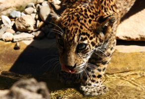 jaguar cub by krystledawn