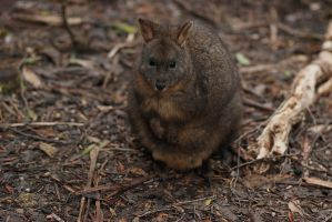 Pademelon Surprise by prophetek