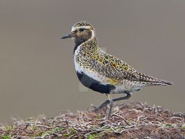 Trendy coat - Golden Plover by Jamie-MacArthur