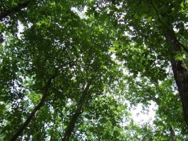 Forest Canopy by rosequartz