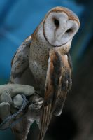 Barn Owl - 1 by Seductive-Stock