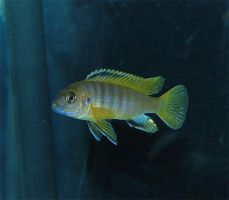 Juvie Pseudotropheus Saulosi by imagine-nation
