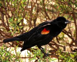 Red-Winged Blackbird by igarcia
