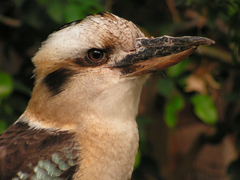 Kookaburra by AllAboutBirds