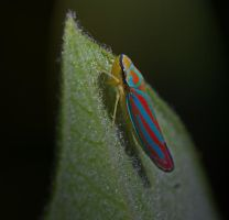 Scarlet and Green LeafHopper by boron