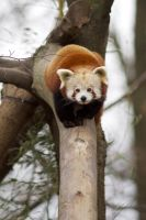 Red Panda 03 Stock by lokinststock