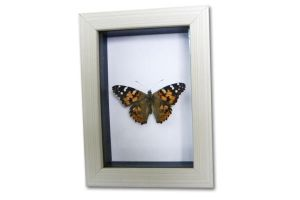 Real Painted Lady Framed Taxidermy Display by TheButterflyBabe
