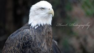 Eagle of America 001 by CaitrinXlXAnneliese