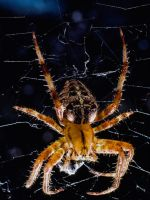 House Spider 2 by Mackingster