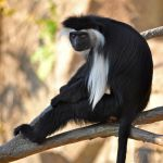 Angolan Colobus 0715 by robbobert