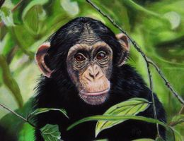 Chimpanzee by Sarahharas07